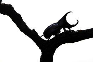 【理科の種まき】飼育中のカブトムシが産卵→孵化