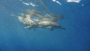 【2019ハワイ】野生のイルカと泳ぐ